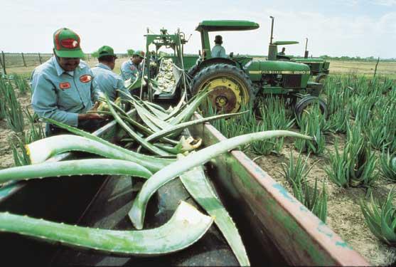Aloe Vera harvesting